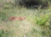 Leopard auf Beutesuche