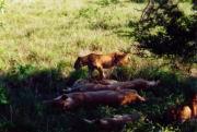 Eine Löwen-Familie