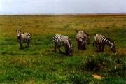 Zebras in der Savanne