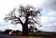 Ein uralter Affenbrotbaum