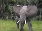 Ein zorniger Elefant