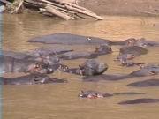 Flusspferde am Mara-Fluss