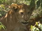 Löwen-Kind