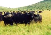 Eine Herde Kaffernbüffel