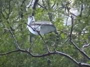 Ein Pelikan