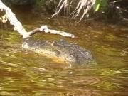 Alligator im Fluss