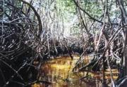 Mangrovensümpfe