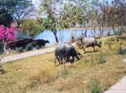 Wasserbüffel für die Reisernte