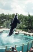 Ein dressierter Wal